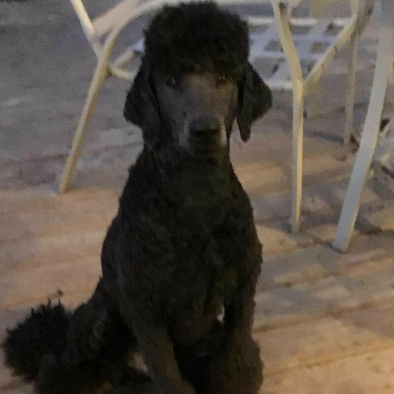 Brown Standard Poodle Puppies Dogs Puppies For Rehoming