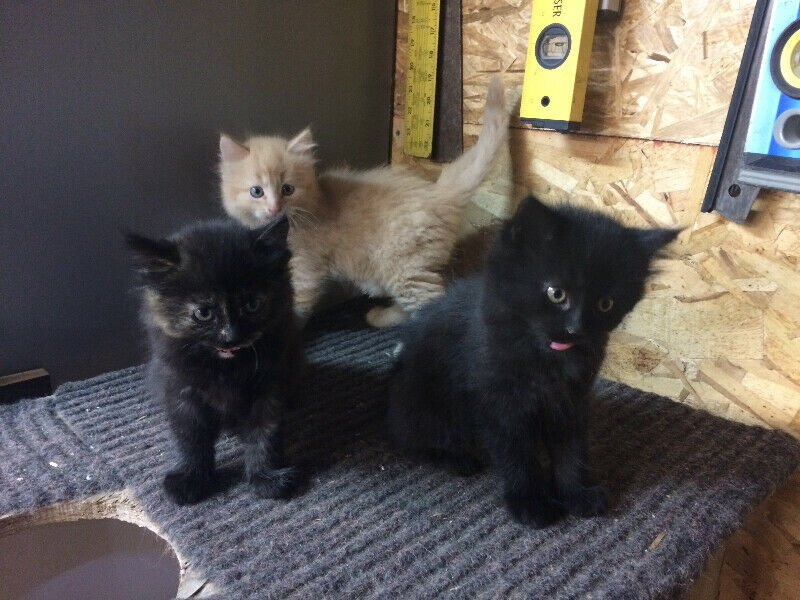 Chaton A Donner Cats Kittens For Rehoming Val D Or Ohmy