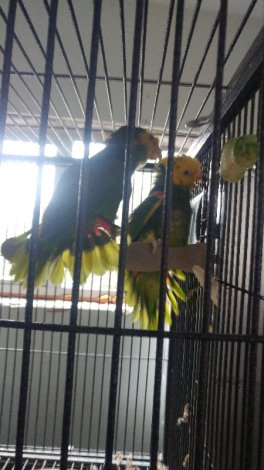 Mating Pair of Double Yellow-Headed Amazon Parrots