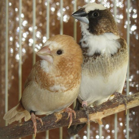 SOCIETY finches (Bengalese finches) sexed or unsexed