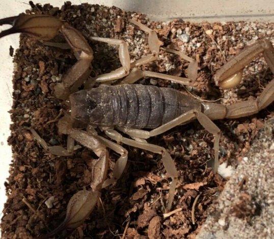 Scorpion Pet