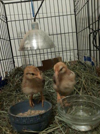 Herritage chicks for sale