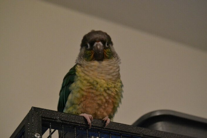 Looking for Baby Male Conure
