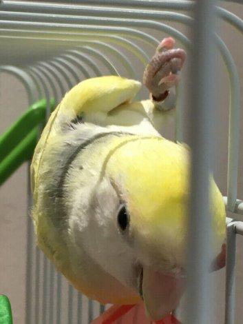 Lovebird pair