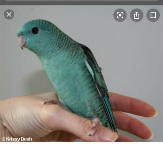 ISO male lineolated parakeet