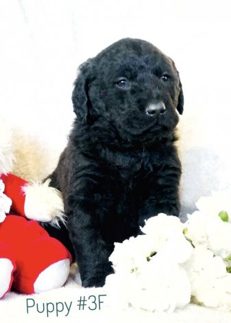 Curly Labradoodle Puppies!