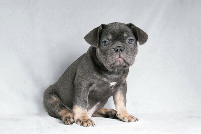 Purebred Registered French Bulldog Puppies