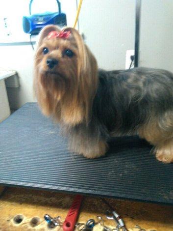 Sweet Yorkie Puppy!!!