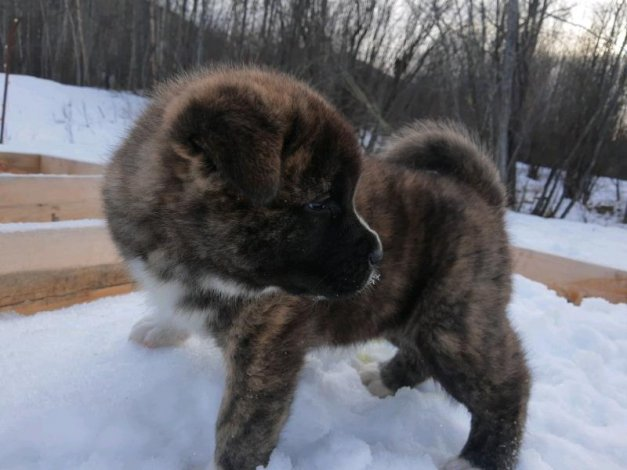 Akita Puppies Ready Feb 3 Can Deliver