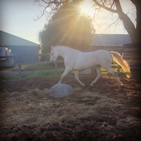 Registered Andalusian Gelding for Sale
