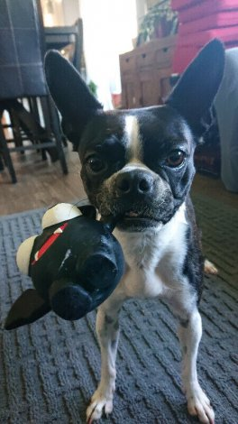 Looking for a Boston Terrier Breeder