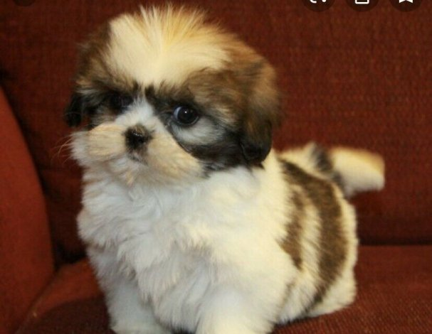 WANTED (NOT OFFERING) shih tzu puppy male for in laws