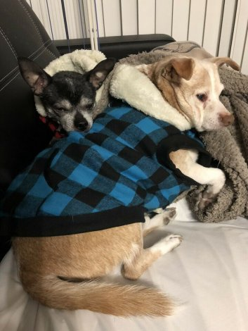 Dog sitter needed for extra special dogs