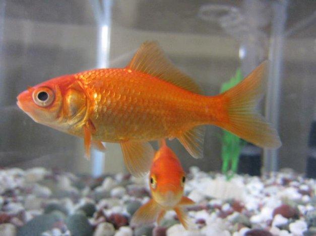 ISO goldfish, pleco, other pond fish