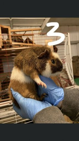 Guinea pigs looking for homes